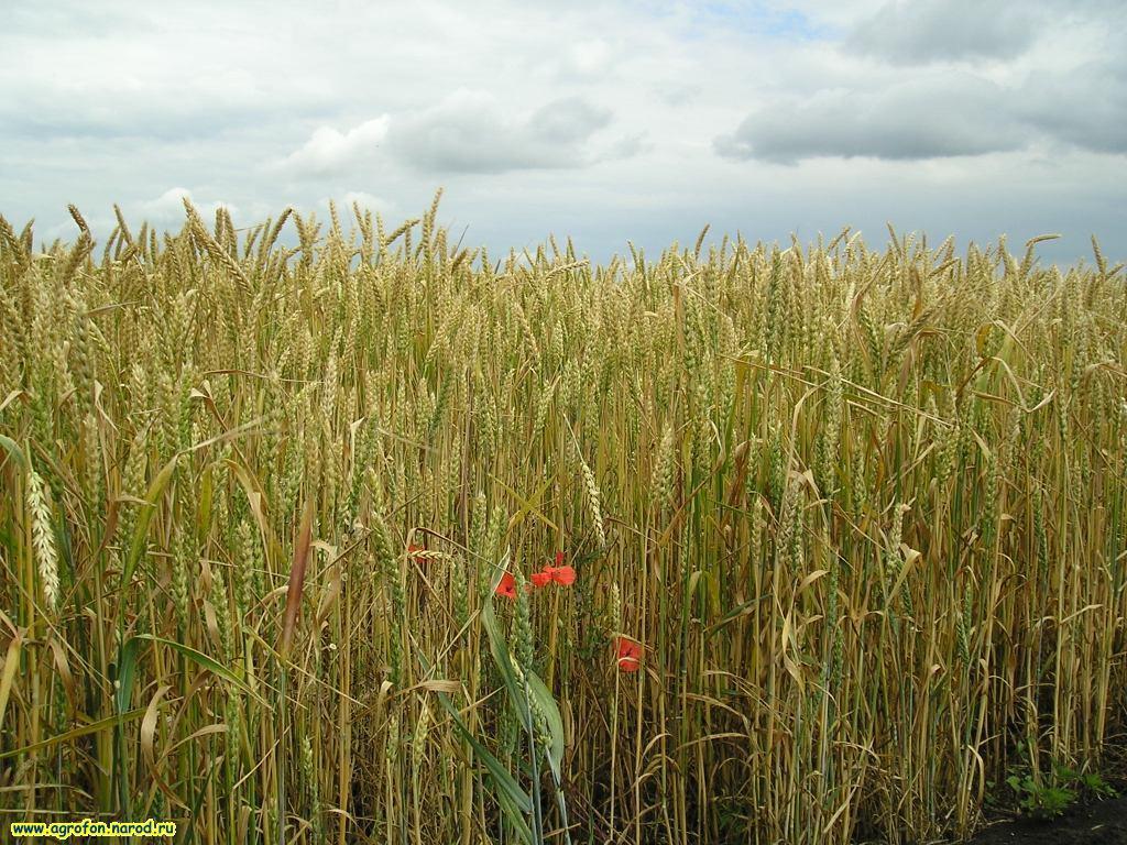 Пшеничные поля фото
